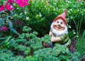 Gnome in garden happy behind parsley and chives with pink and white flowers the background Stock Image