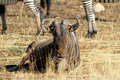 Gnu bull wildbeest is watching Stock Photo