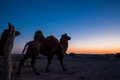 Go home after a hard day s work the camels are ready to Royalty Free Stock Images