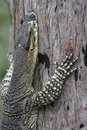 Goanna climbing tree Royalty Free Stock Images