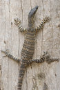 Goanna on a tree Royalty Free Stock Photography