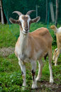 Goat 5 Stock Photo