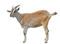 Goat 9 Stock Photo