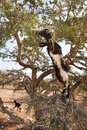 Goat in argan tree Stock Image