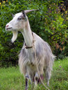 Goat with beard Royalty Free Stock Images