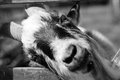 Goat in black and white Royalty Free Stock Images
