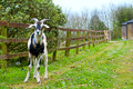 Goat chained to the fence in ardmore county waterford ireland Royalty Free Stock Images