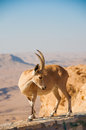 Goat on cliff Royalty Free Stock Images