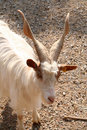 Goat close up Royalty Free Stock Photo