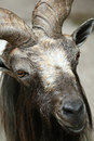 Goat close up Royalty Free Stock Photo