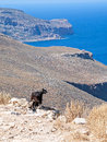 Goat in crete on a beautiful sunny day Royalty Free Stock Photo