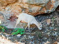 Goat crete and rhodes mountain rocks Royalty Free Stock Image