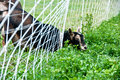 Goat discovers grass is greener on the other side this sneaky has discovered wisdom of old adage grows of fence Royalty Free Stock Photo