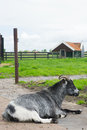 Goat on dutch farm resting at Stock Photo