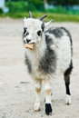 Goat eating bread Royalty Free Stock Photography