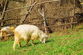 Goat eating grass Stock Images
