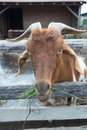He goat eating grass brown closeup head through manger fence and Royalty Free Stock Image