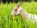 Goat eating grass in farm from central of thailand Stock Photo