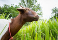 Goat eating grass in farm from central of thailand Royalty Free Stock Photos