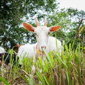 Goat eating grass in farm from central of thailand Stock Images
