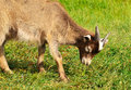 Goat eating grass on fild the Royalty Free Stock Photography