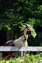 Goat eating a leaf gren near my house Royalty Free Stock Photo