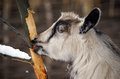 Goat eats bark of a tree in winter Stock Images