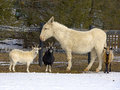 Goat ewe and mule s standing in the snow Stock Photos
