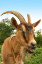 Goat face Stock Photo