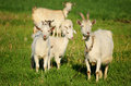 Goat family in a green field Royalty Free Stock Photo