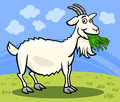 Goat farm animal cartoon illustration of funny comic on the Royalty Free Stock Image