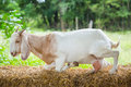 Goat in farm close up young fron central of thailand Stock Photo