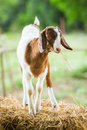 Goat in farm close up young fron central of thailand Royalty Free Stock Images