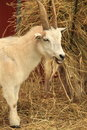 Goat on farm is eating hay Stock Photos