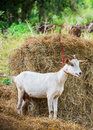 Goat in farm female with dry pangola grass Royalty Free Stock Photography