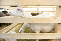 Goat farm inside a pen at an agricultural fair Royalty Free Stock Images