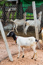 Goat in farm standing on ground near wire mesh from central of thailand Royalty Free Stock Image