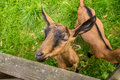 Goat in a farmyard photograph of young curious Royalty Free Stock Photography