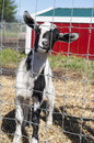 Goat in the farmyard standing a with a red barn Royalty Free Stock Images