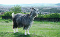 Goat in the field standing enjoying sun Royalty Free Stock Photography