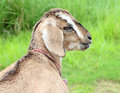 Goat funny close up portrait of a Royalty Free Stock Photos