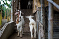 Goat goats walking up and down their shed Royalty Free Stock Photo