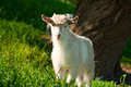 Goat grazing Royalty Free Stock Image