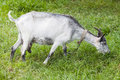 Goat grazing on a green meadow. Capra aegagrus hircus portrait at summer time Royalty Free Stock Photo
