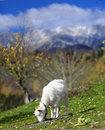Goat grazing on mountainside white field with piatra craiului mountains in background southern carpathians romania Stock Photos