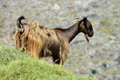 Goat greece south crete island Royalty Free Stock Photos
