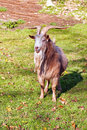 Goat on the green grass male Royalty Free Stock Photos