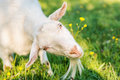 Goat on the green summer meadow Royalty Free Stock Photo