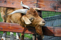 Goat head with horns went through a farm fence Royalty Free Stock Photography
