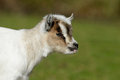 Goat head of a white Stock Images